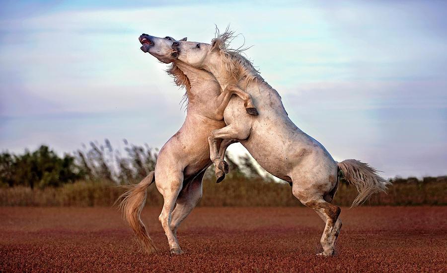 Camargue Photograph - Horses Fighting by Xavier Ortega