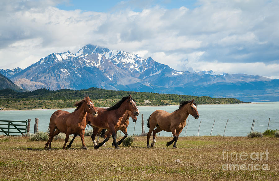 America Photograph - Horses galloping in Patagonia by OUAP Photography
