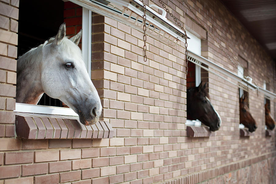 Horses Looking From The Windows Of A Photograph by O sa
