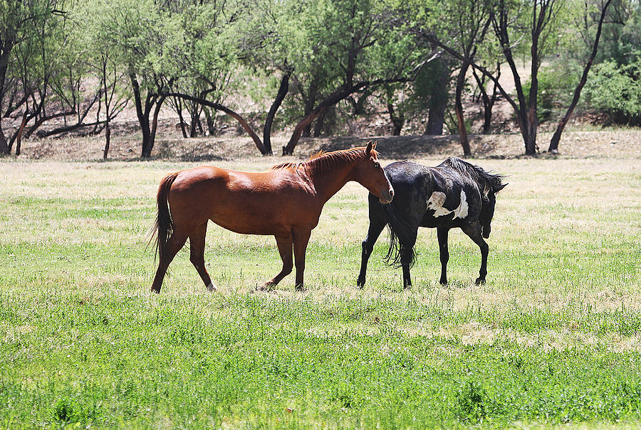 Arizona Photograph - Horses Out Wickenburg Way by Tom Janca