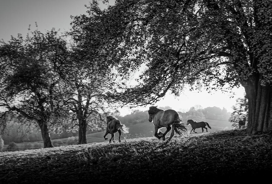 Horizontal Photograph - Horses Running At Sunset, Baden by Animal Images