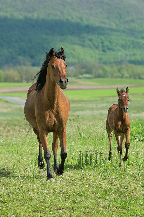 Horses Running In Summer Pasture, Mare Photograph by Catnap72