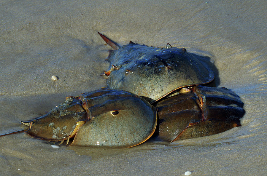 Horizontal Photograph - Horseshoe Crabs Mating In Sand by Animal Images