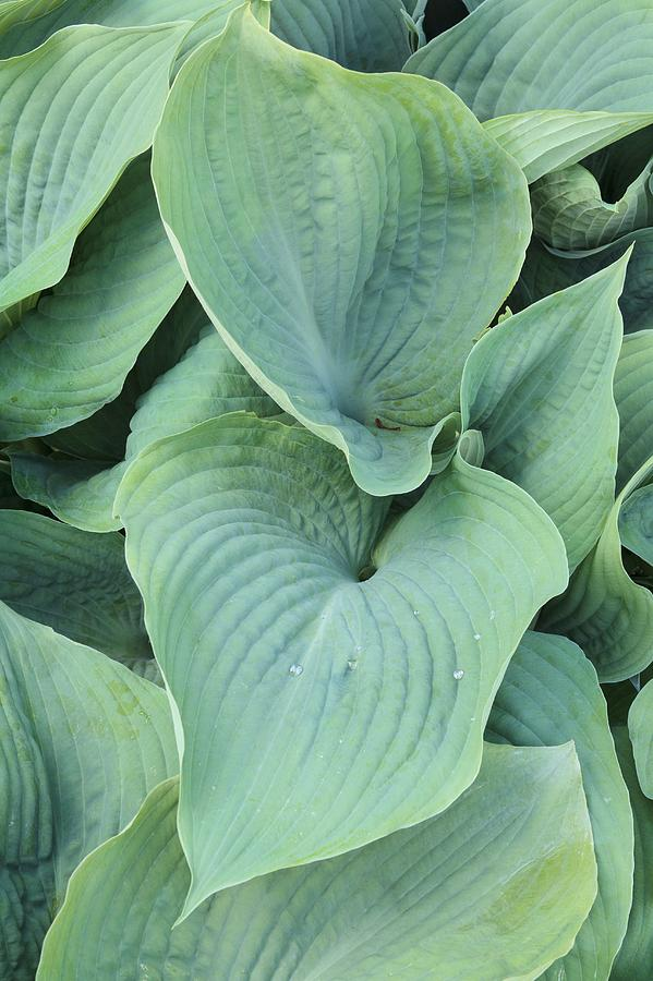 Hosta Blue Angel Photograph By Geoff Kiddscience Photo Library