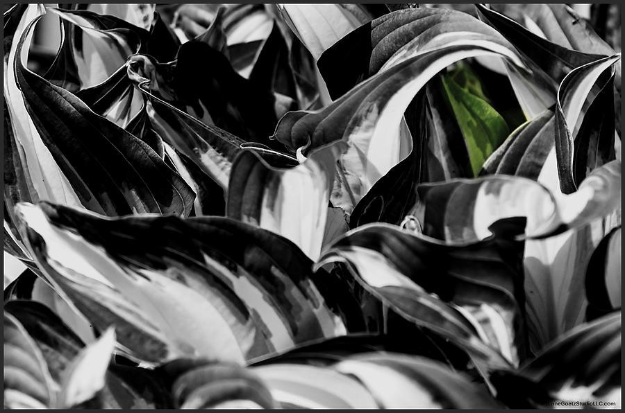 Hosta Hostas Giboshi Plantain Lilies Photograph
