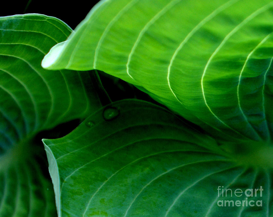 Green Photograph - Hosta Tunnel by Valerie Fuqua