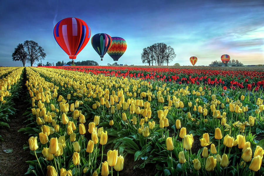 Tulip Photograph - Hot Air Balloons Over Tulip Field by William Lee