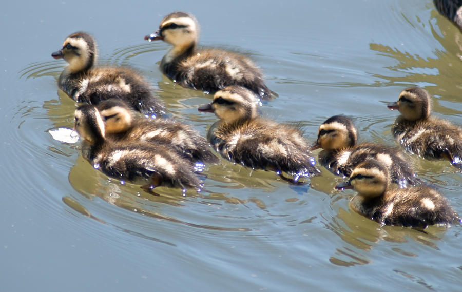 Ducks Photograph - Hot Chicks Out For A Swim by Optical Playground By MP Ray