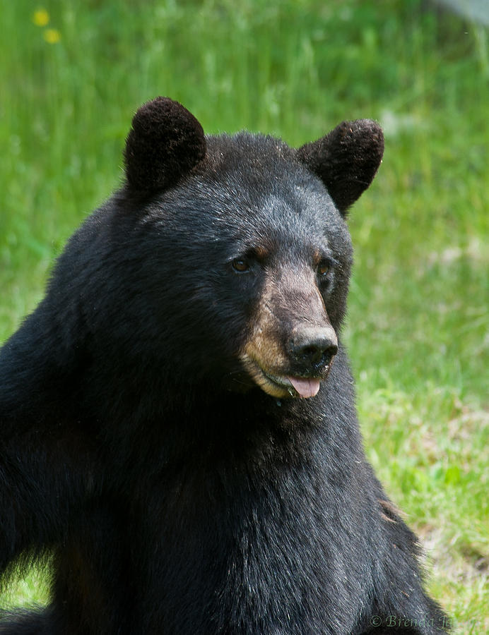 Bears Photograph - Hot Day In Bear Country by Brenda Jacobs