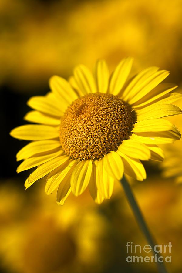 Daisy Photograph - Hot In The Sun by Joy Watson