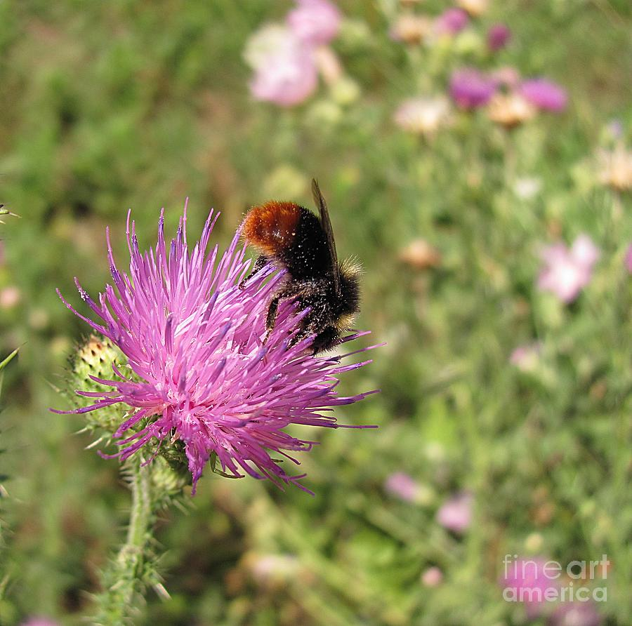 Bumblebee Photograph - Hot Midday by Halyna  Yarova