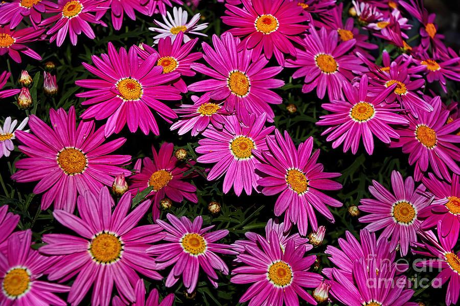 Pink Daisies Photograph - Hot Pink Daisies by Kaye Menner