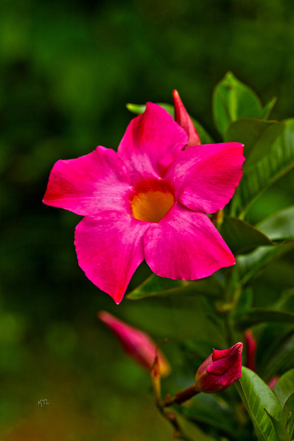 Flower Photograph - Hot Pink Dipladenia by Karol Livote