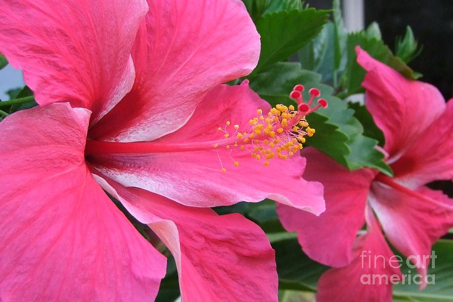Pink Photograph - Hot Pink Hibiscus 2 by Mary Deal
