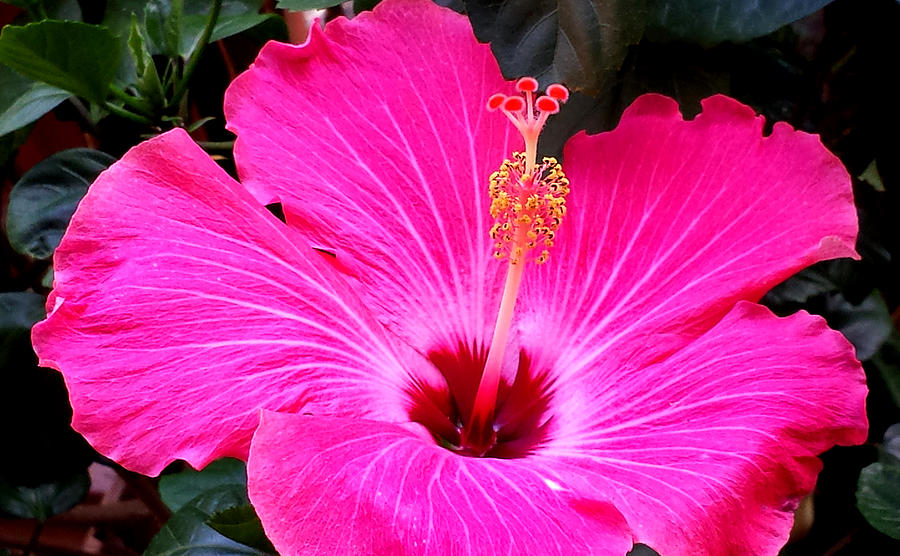 Hot Pink Hibiscus Flower Photograph by Susan Vincil