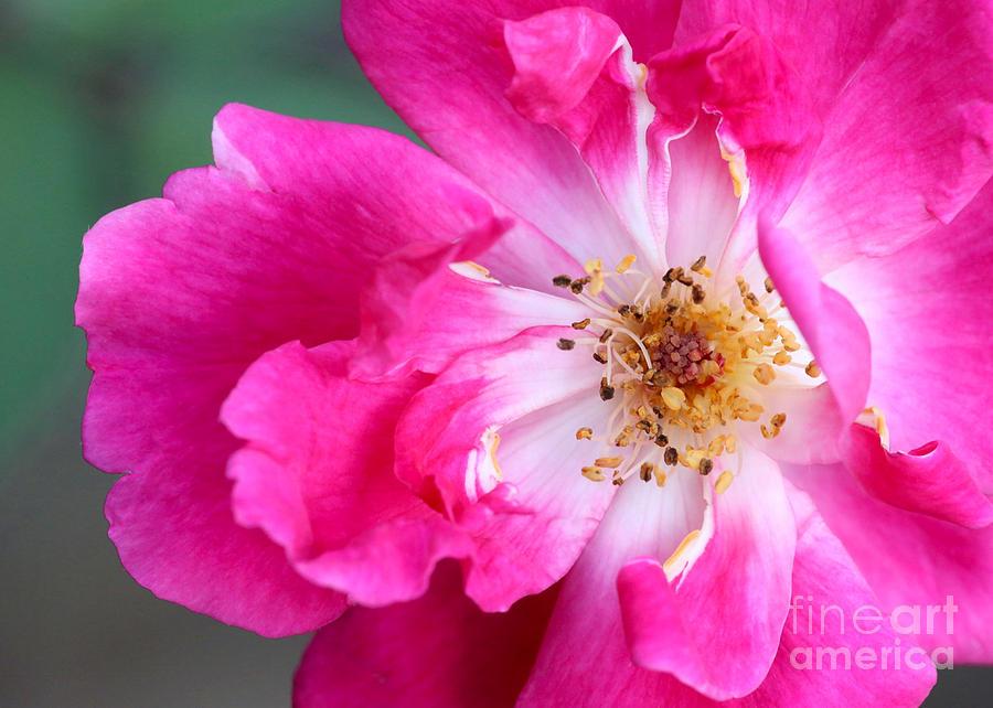 Macro Photograph - Hot Pink Rose by Sabrina L Ryan