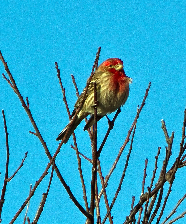 House Finch Photograph - House Finch by Constantine Gregory