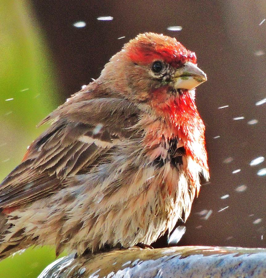 House Finch Photograph - House Finch by Helen Carson