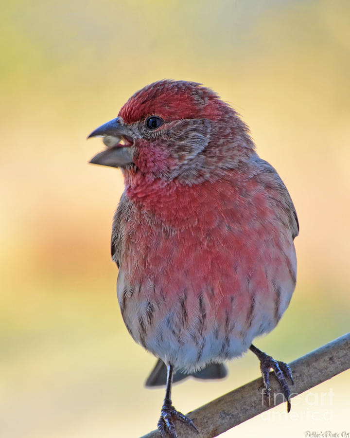 Nature Photograph - House Finch II by Debbie Portwood