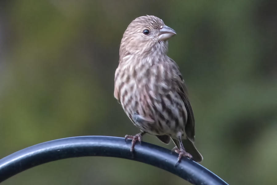 Bird Photos Photograph - House Finch by John Kunze