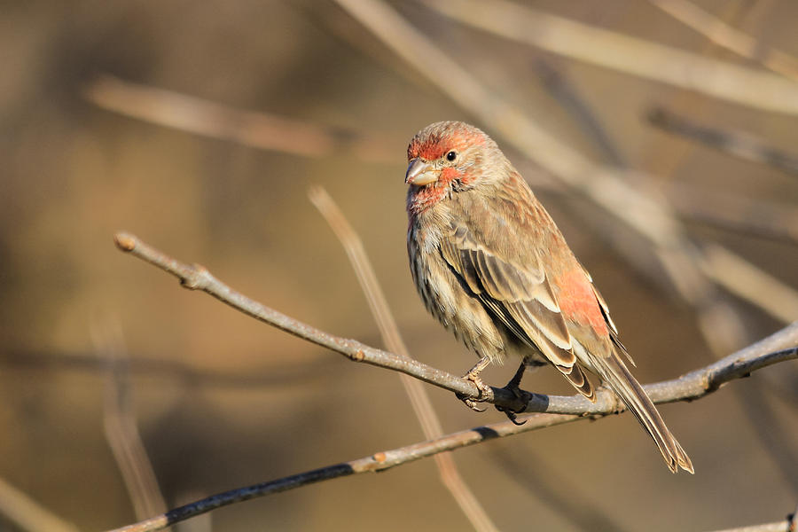 Bird Photograph - House Finch by Kimberly Kotzian