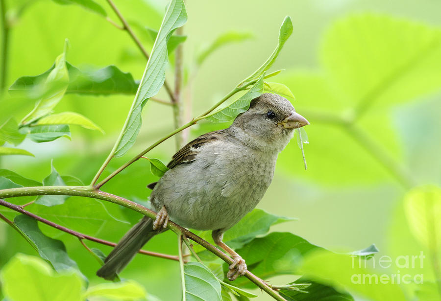 House Sparrow Feeding by Ilene Hoffman