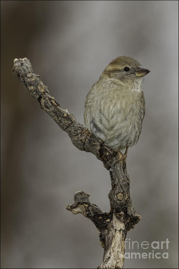 House Sparrow female by Michael Greiner