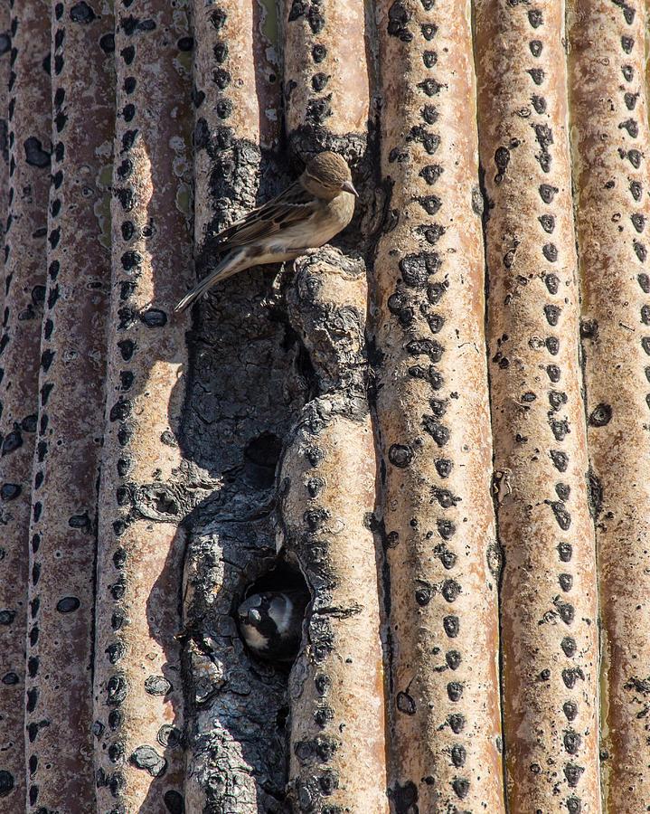 Cactaceae Photograph - House Sparrow in Saguaro by Mark Hammon
