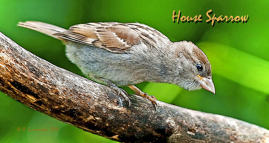 Ornithology Photograph - House Sparrow Juvenile Poster Image by A Gurmankin
