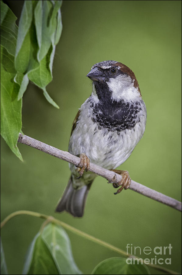 House Sparrow by Michael Greiner