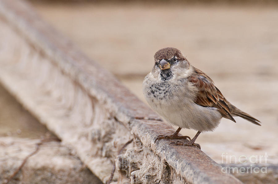 House sparrow by Simona Ghidini
