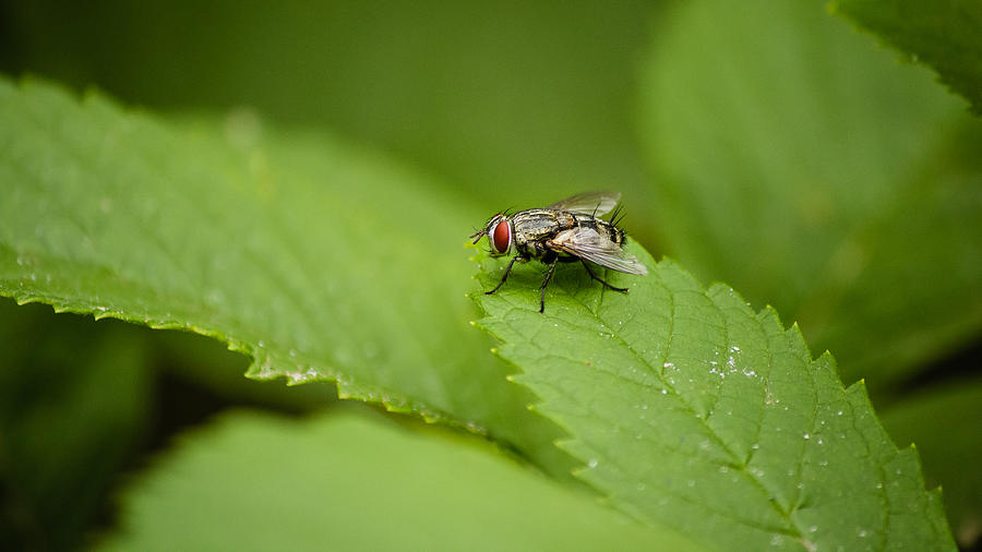 Housefly Photograph - Housefly by SAURAVphoto Online Store