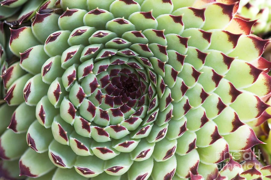 Sempervivum Calcareum Extra Photograph - Houseleek Pattern by Tim Gainey