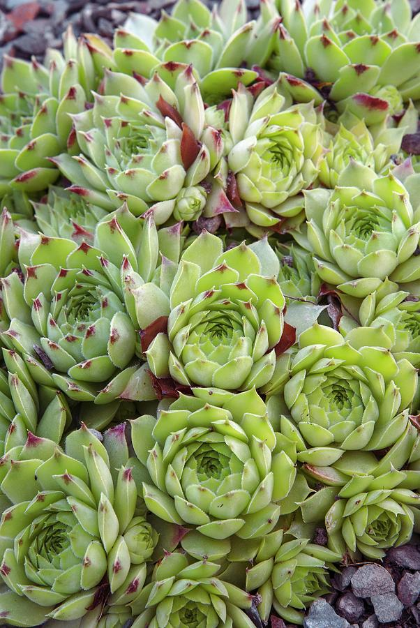 Close-up Photograph - Houseleek (sempervivum tip Top) by Adrian Thomas/science Photo Library