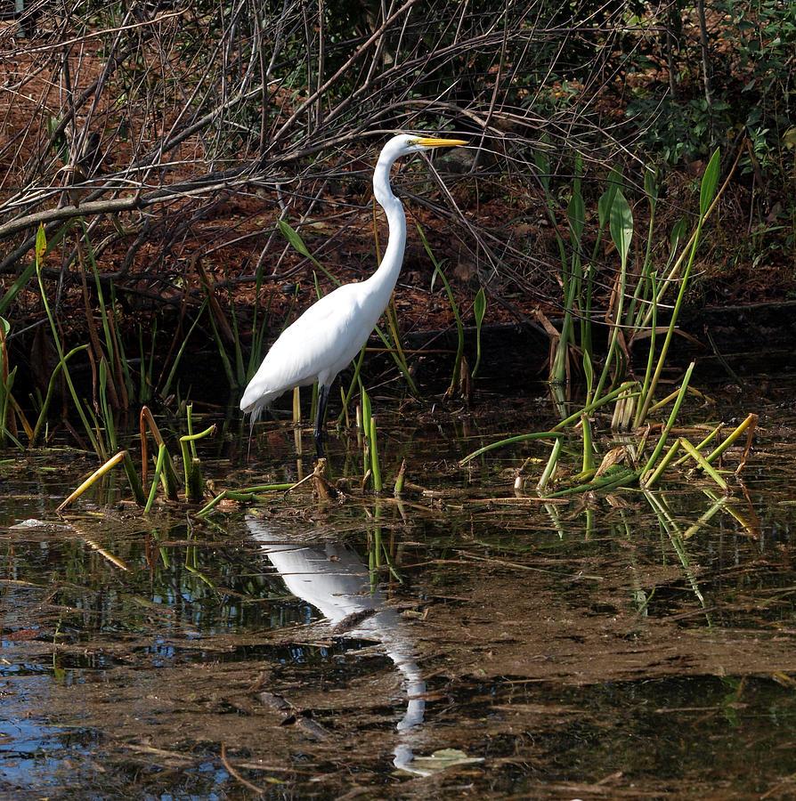 Great White Egret Photograph - Houston Wildlife Great White Egret by Joshua House