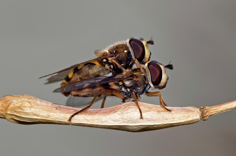 Animal Photograph - Hover Flies Mating by Dr. John Brackenbury/science Photo Library