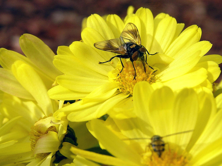 Nature Photograph - Hoverfly by Christina Rollo