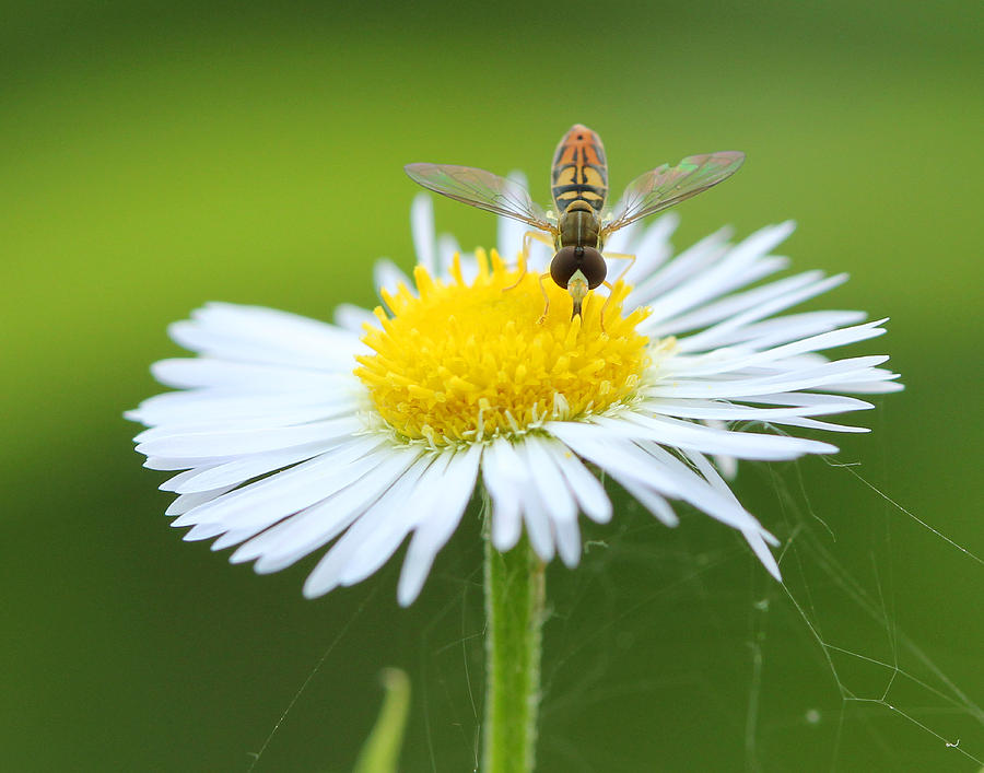 Syrphidae Photograph - Hoverfly on Flower by Brian Magnier