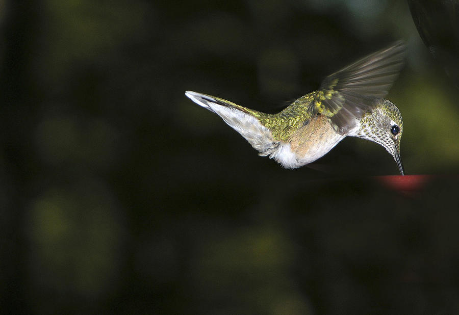 Hummingbird Photograph - Hovering Beauty by Ron White