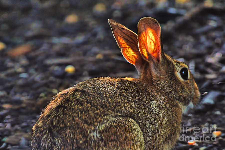 Rabbit Photograph - How Bout Them Ears by Dan Friend