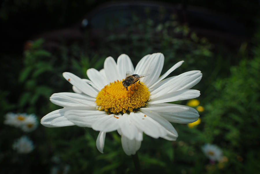 Bee Photograph - How Doth The Little Busy Bee by Laura Pineda