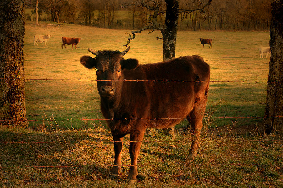 How Photograph - How Now Brown Cow by Nina Fosdick