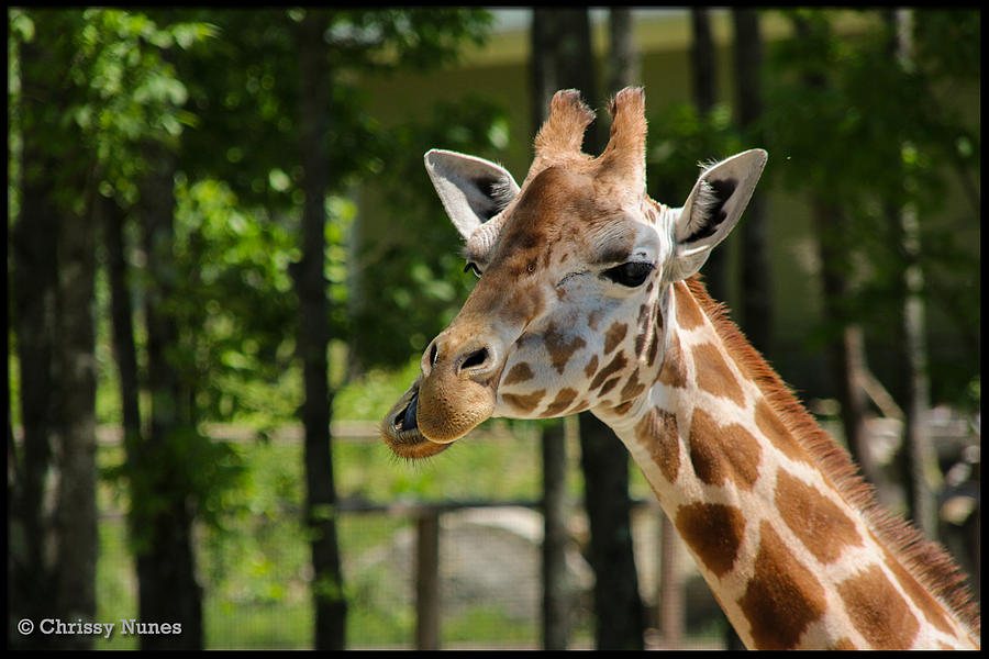 Giraffe Photograph - Howdy by Christine Nunes