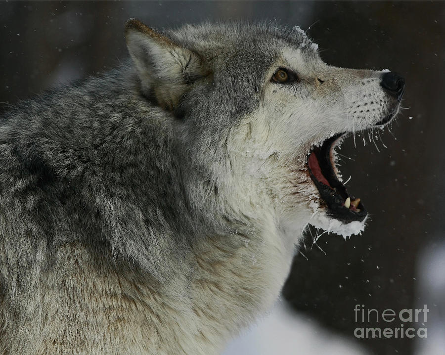 Howling Photograph - Howling Gray Wolf  by Inspired Nature Photography Fine Art Photography