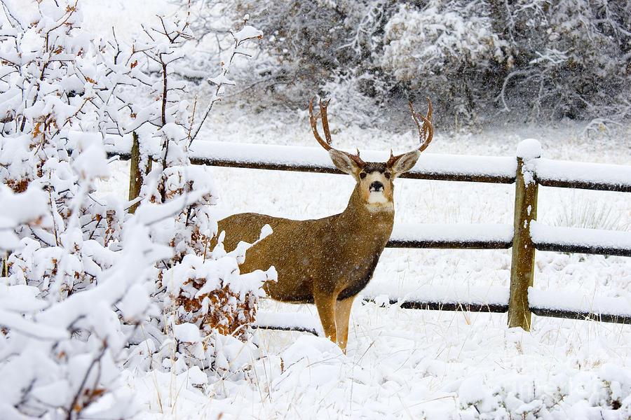 Huge Buck Mule Deer In Snow Photograph