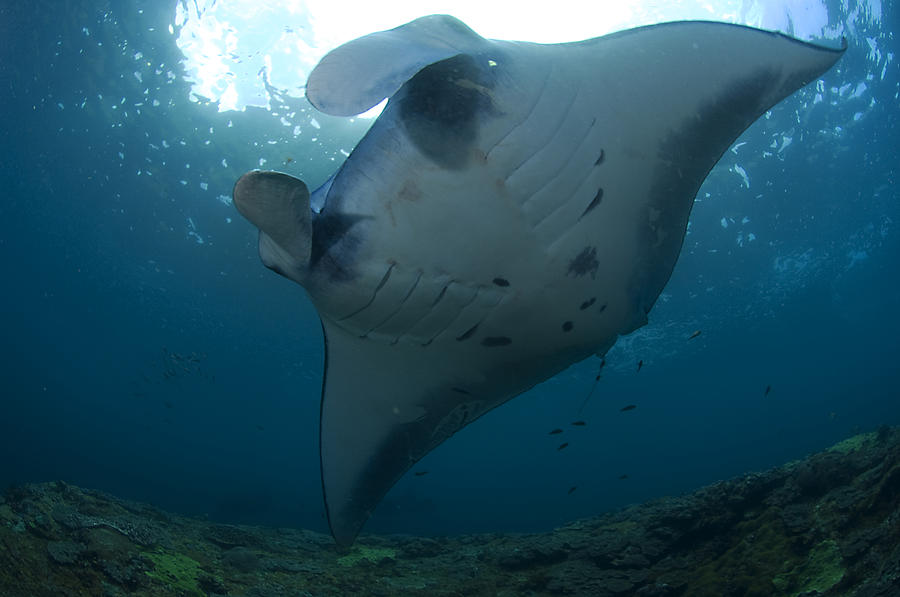 Huge Manta ray in Nusa Penida, Bali Photograph by Jens Kuhfs