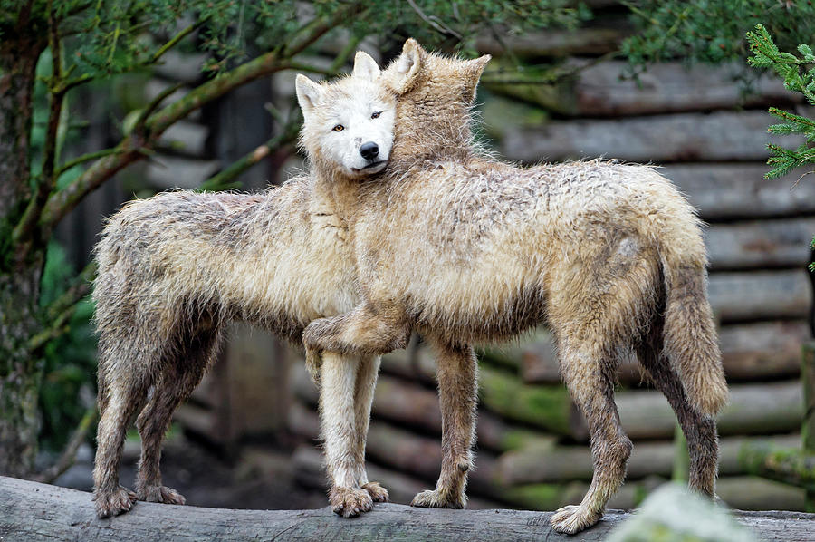 Hugging Arctic Wolves Photograph by Picture By Tambako The Jaguar