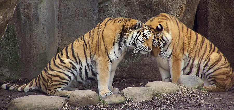 Tiger Photograph - Hugs And Kisses by Frozen in Time Fine Art Photography
