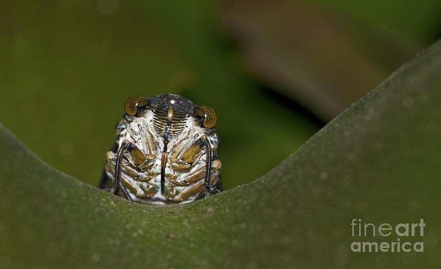Cicada Photograph - Huh... by Nina Stavlund