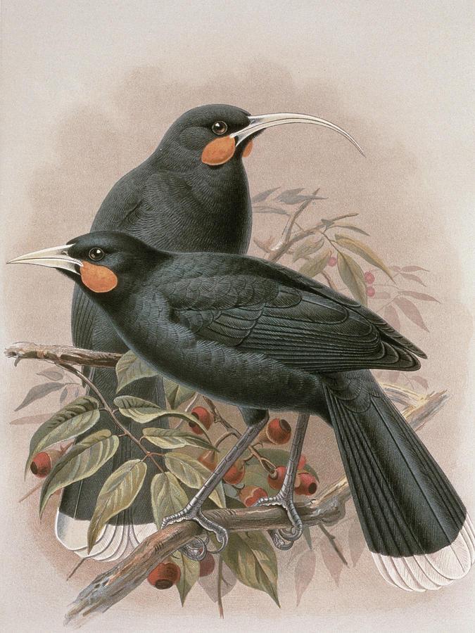 Bird Painting - Huia by Johan Gerard Keulemans